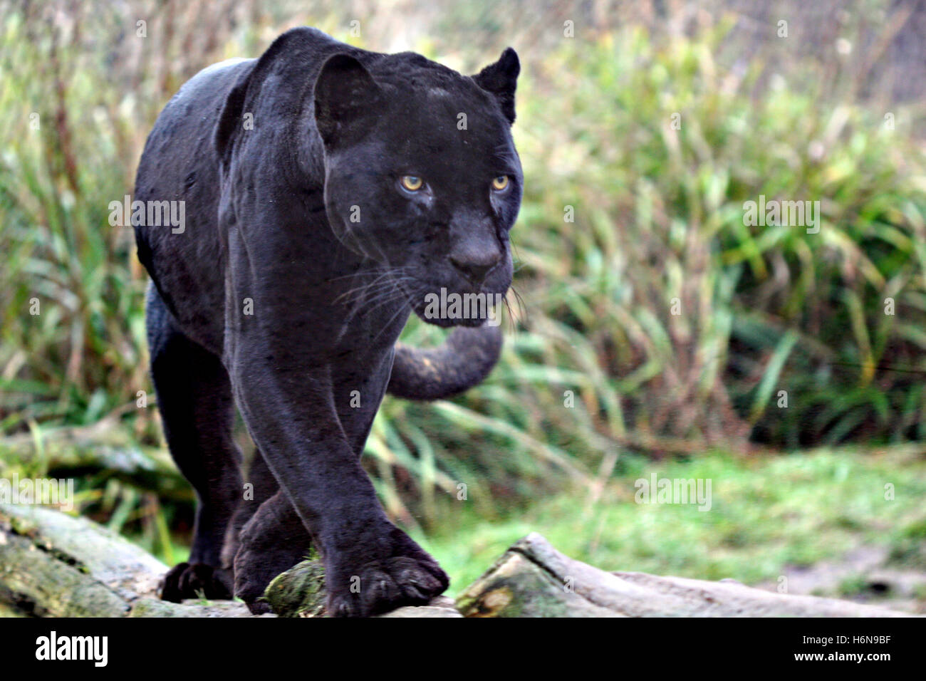 Black Jaguar   Stock Image