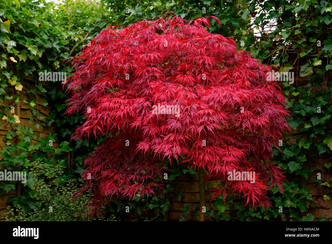 Japanese Maple Acer Palmatum Tree In Early Autumn Prior To Leaf