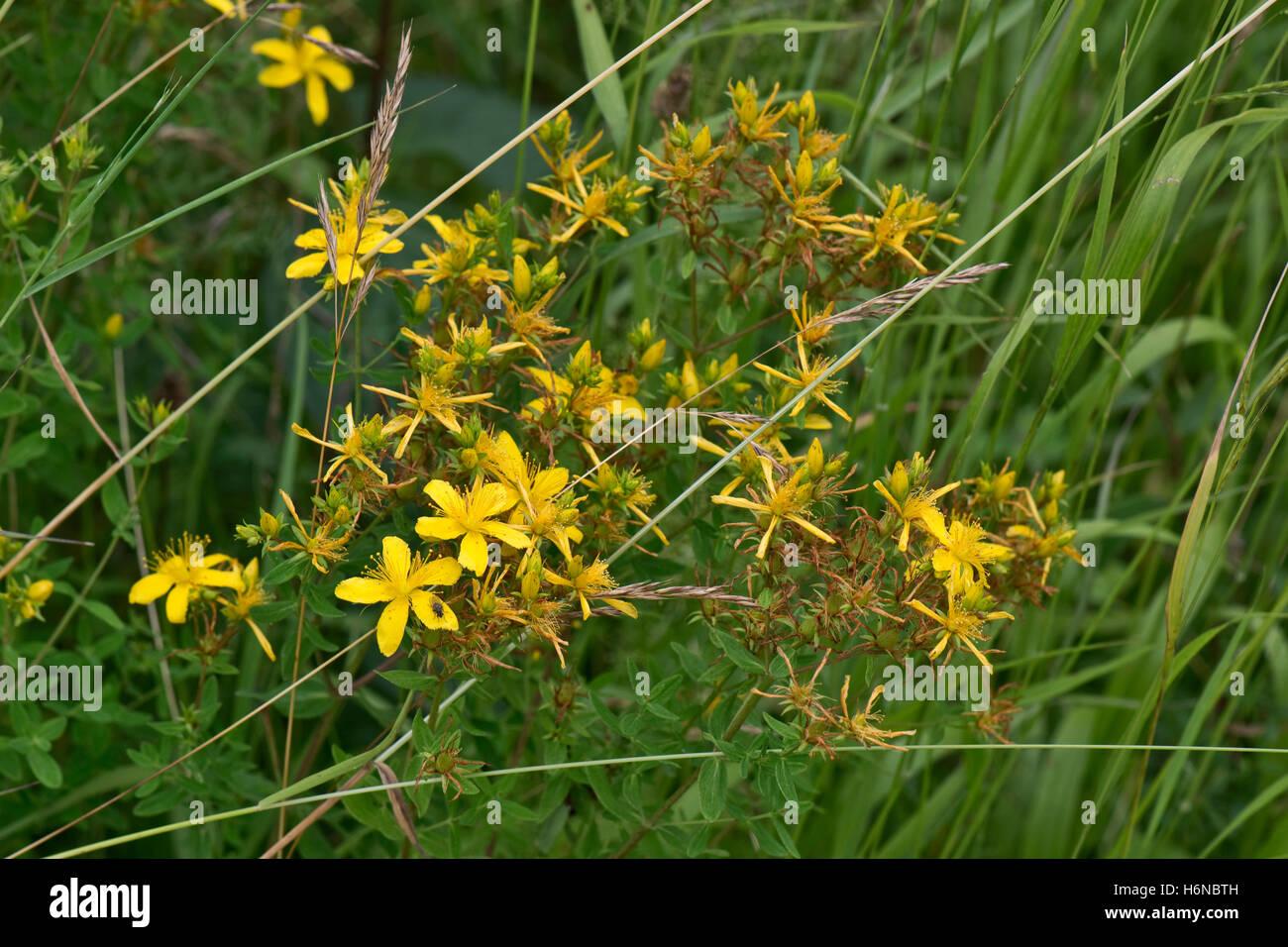 Perforate St.John's wort, Hypericum perforatum, yellow flowering plant on downland scrub, Berkshire, July - Stock Image
