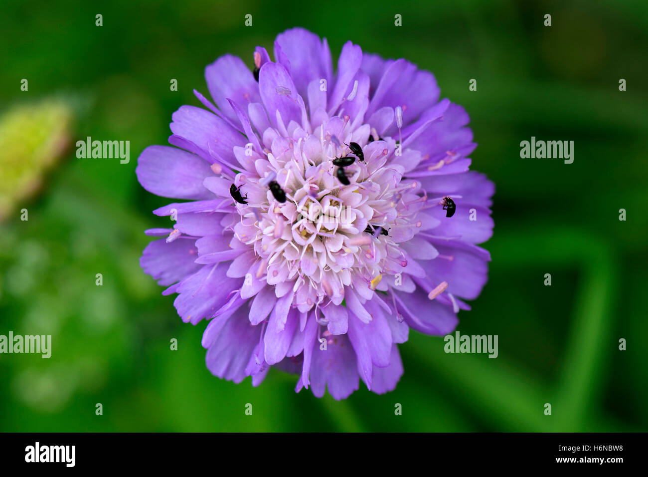 Blue, lilac flower of field scabious, Knautia arvensis, with pollen beetles, Berkshire, July - Stock Image