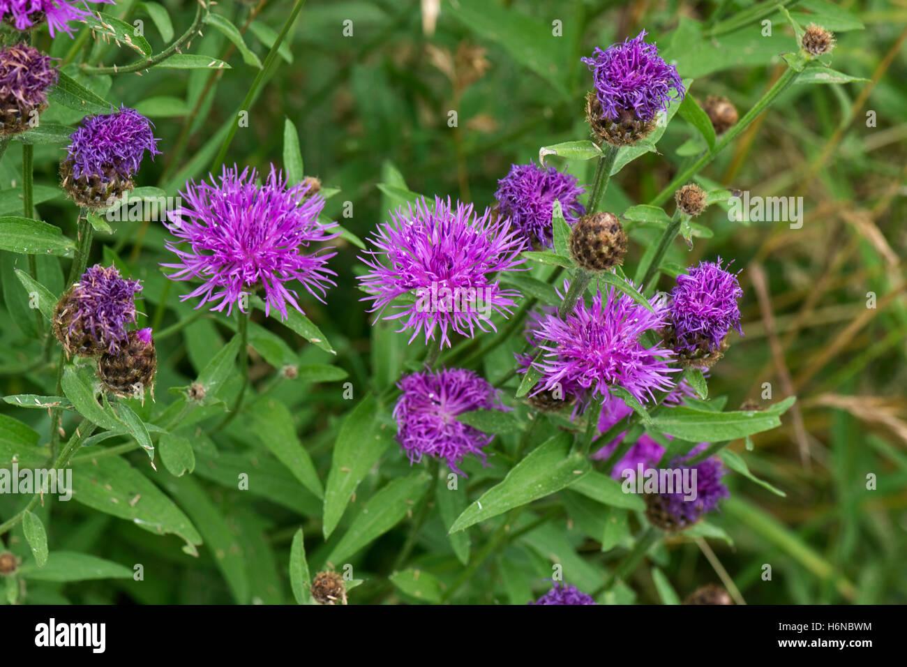 Purple flowers of greater knapweed, Centaurea cyanus, Berkshire, July - Stock Image