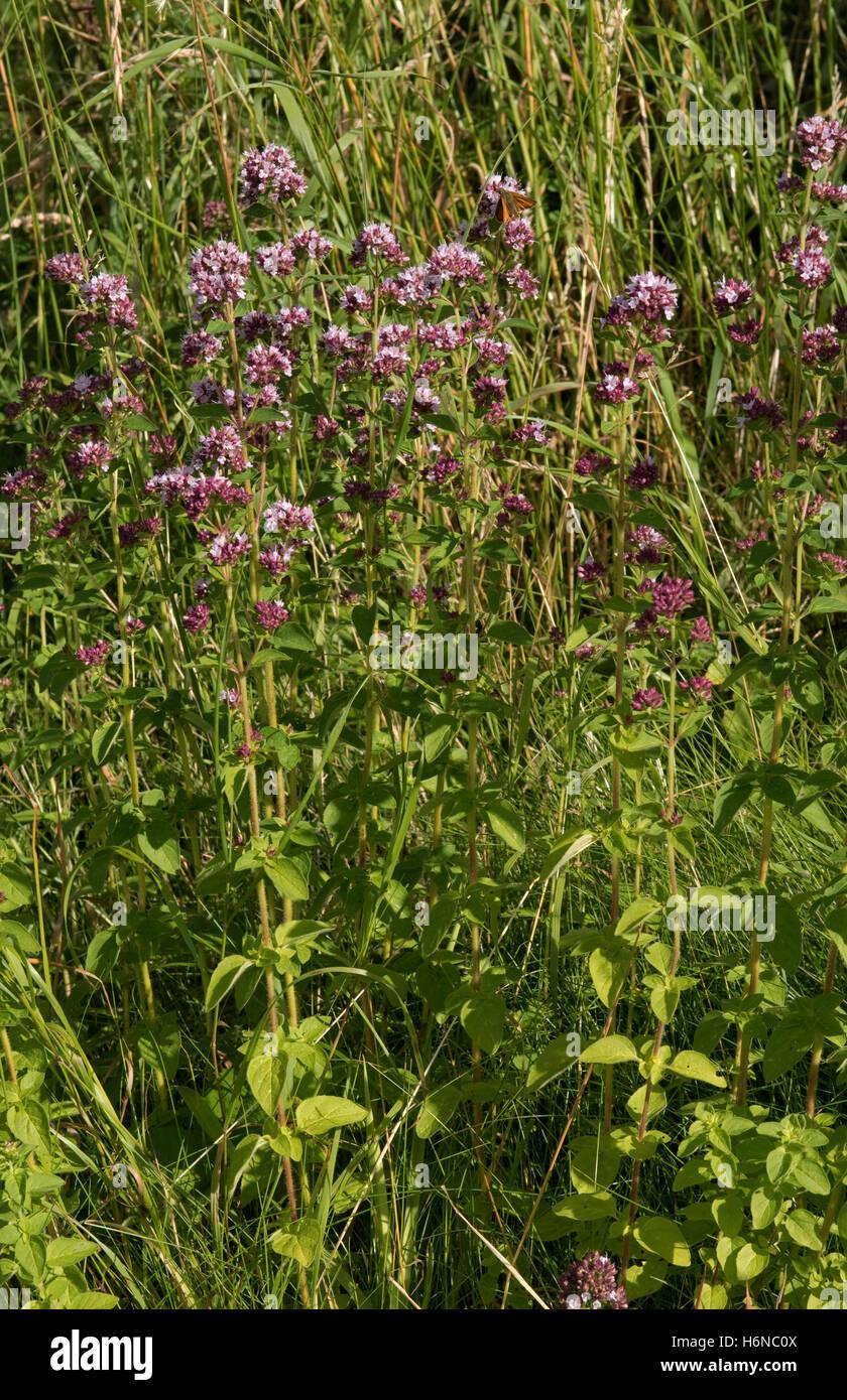 Wild marjoram or oregano, Origanum vulgare, flowering plants on downland grassland, Berkshire, July - Stock Image