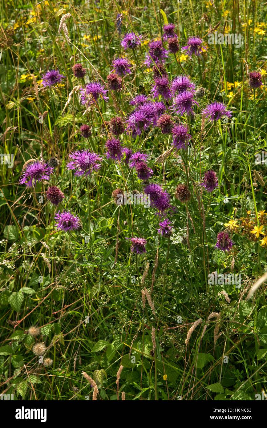 Purple flowers of greater knapweed, Centaurea cyanus, with perforated st.John's wort, Berkshire, July - Stock Image