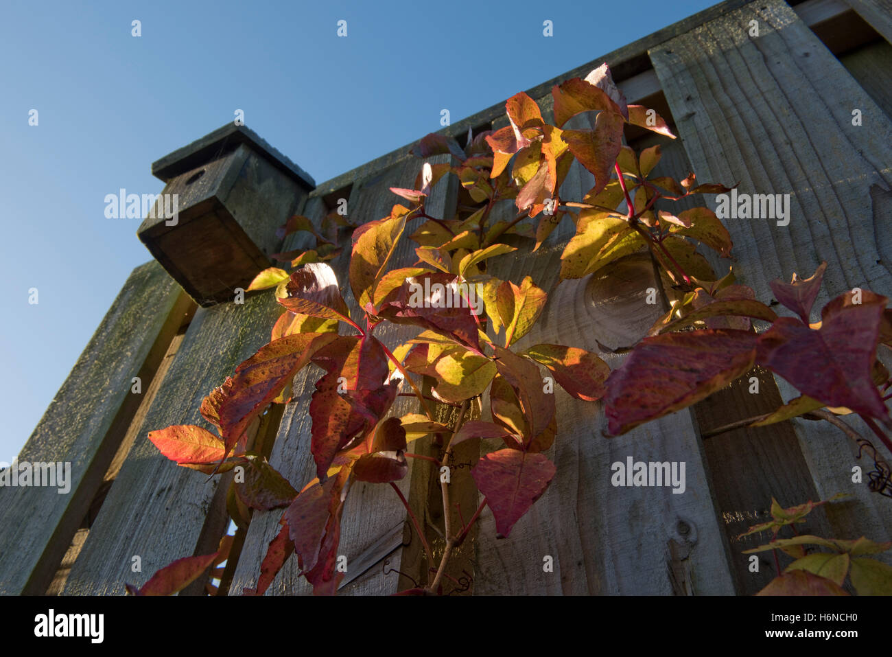 Virginia creeper, Parthenocissus tricuspidata, red leaves growing on a fence with a bird nestbox, October - Stock Image