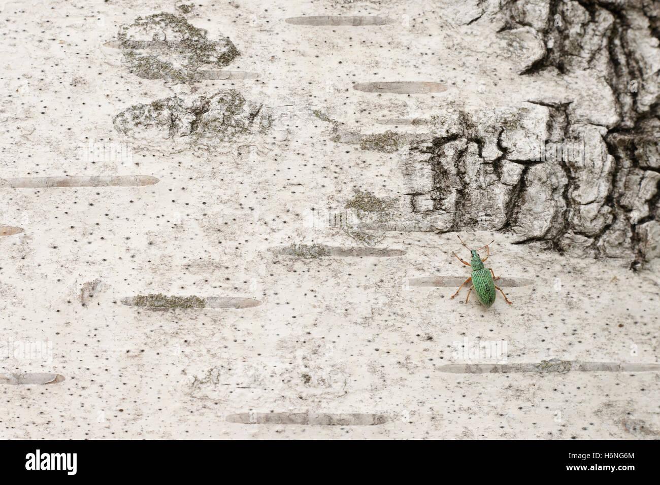 beetle on birch bark - Stock Image