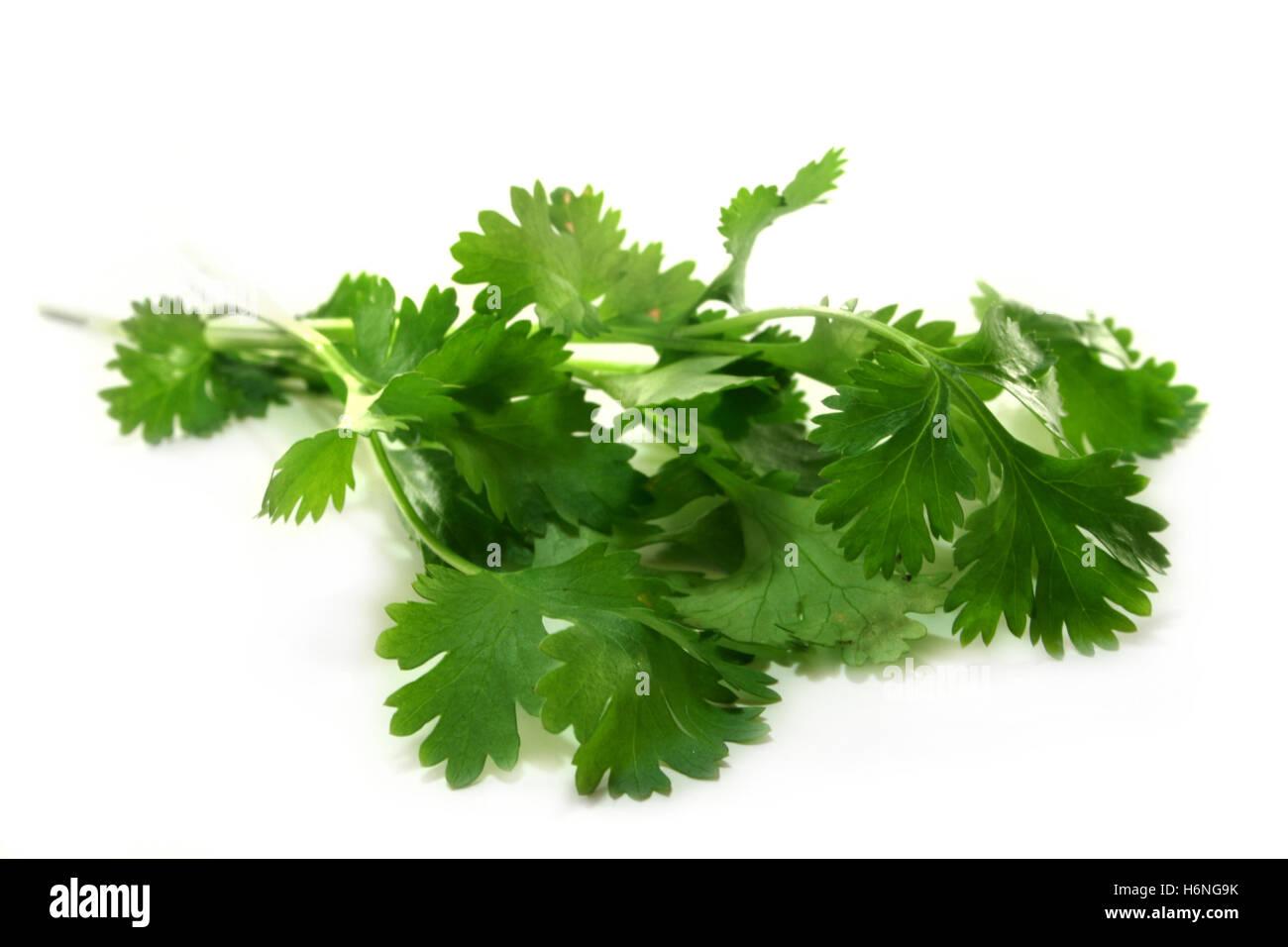 coriander - Stock Image