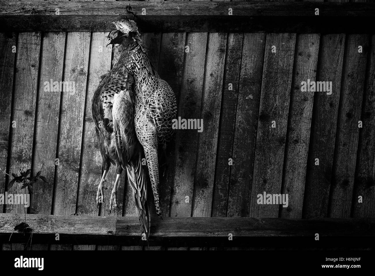 Pheasants from a recent shoot on Cornwall. A darkened more classical style of presentation against a rustic style - Stock Image