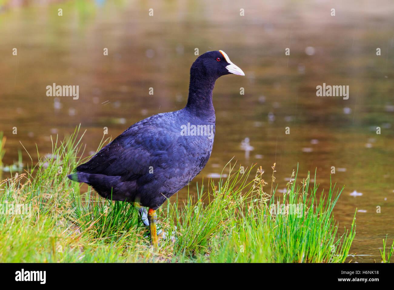 Black bird in a green grass under the rain - Stock Image