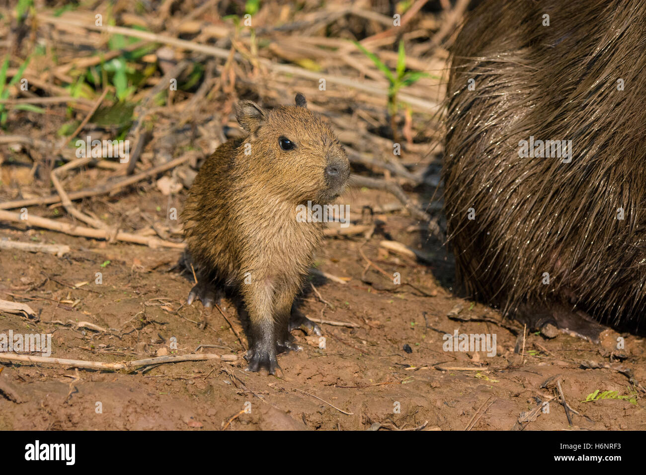 Wild Baby Capybara, Hydrochaeris hydrochaeris, next to its mother on the bank of a river in the Pantanal, Brazil, Stock Photo