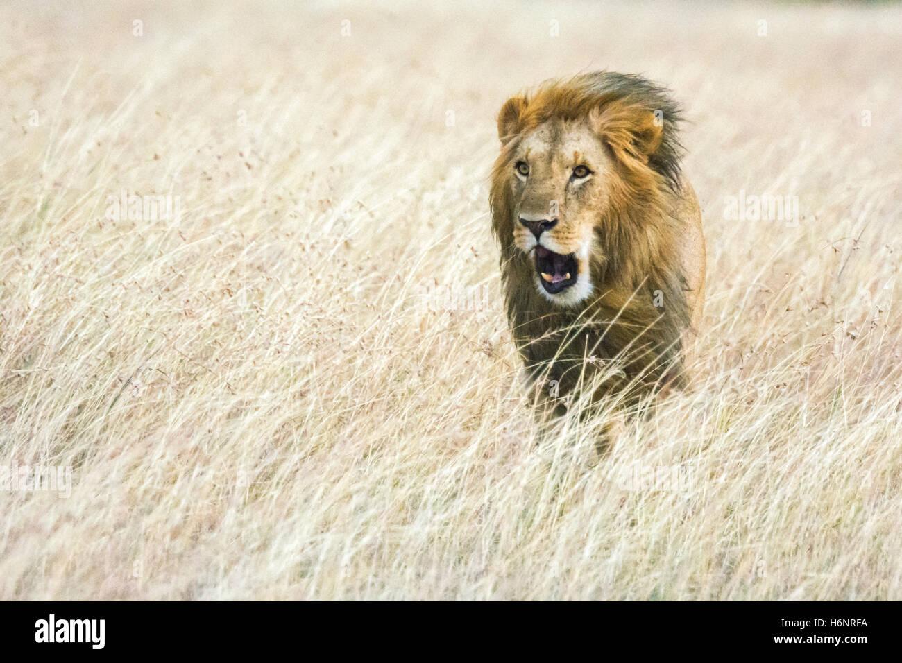 Adult Wild Male Lion, Panthera leo, walking, roaring or yawning, wind blowing mane, Masai Mara National Reserve, - Stock Image