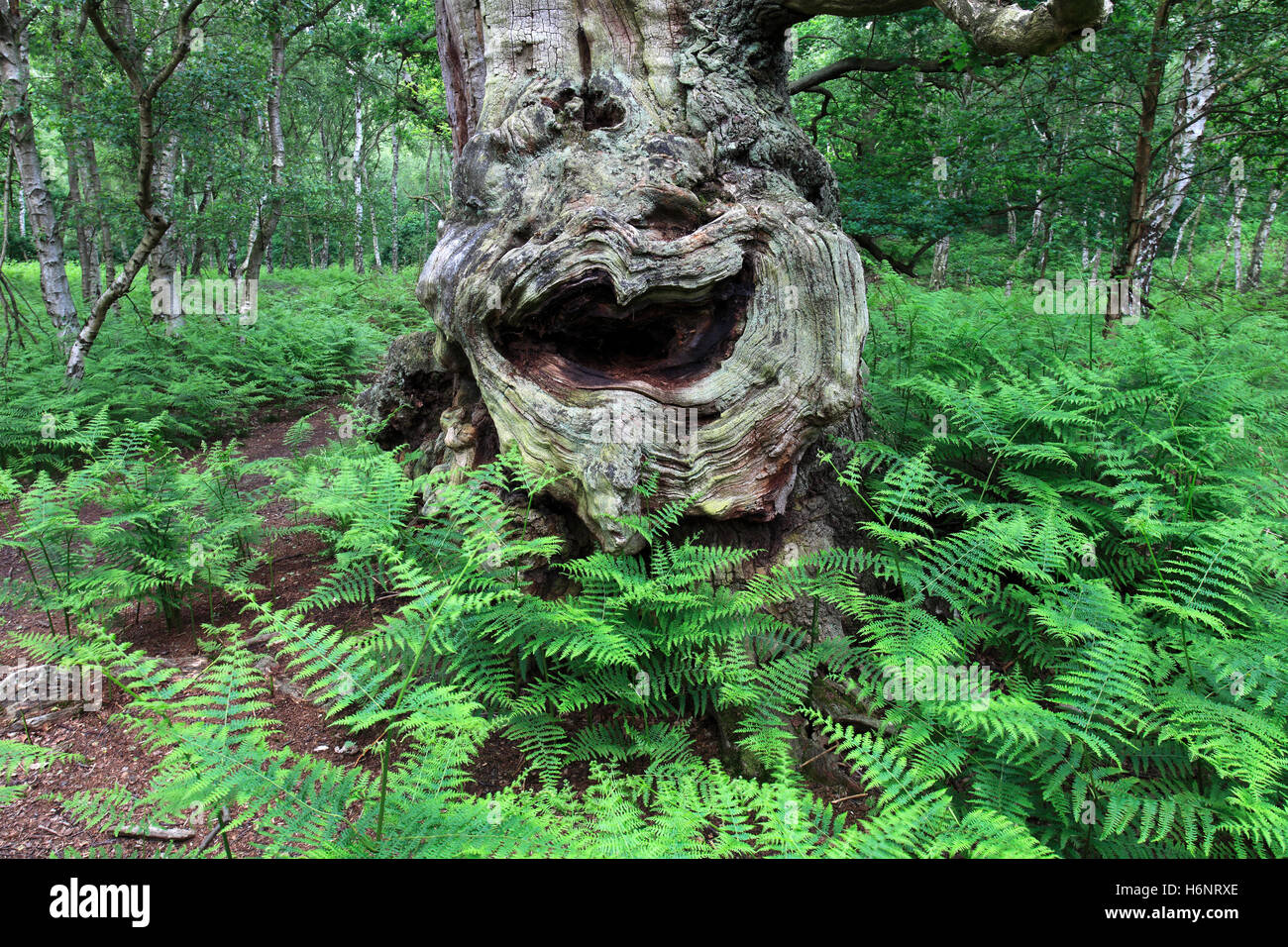 English Oak Tree with a face on it, (Quercus robur) in Sherwood Forest SSSI, Nottinghamshire, England, Britain, Stock Photo