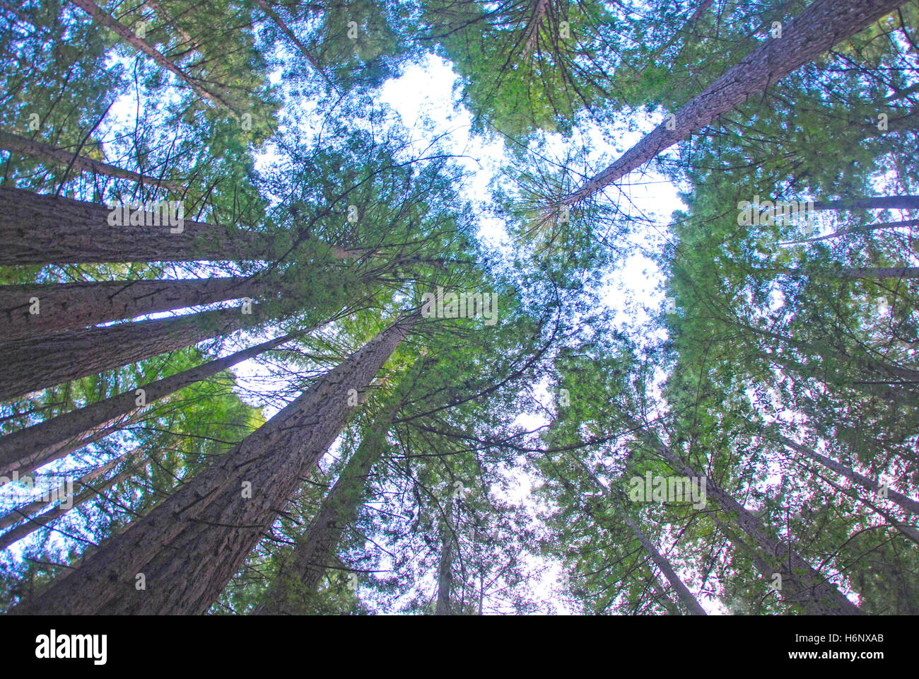 View of the tree tops of the northern California redwoods from the perspective of someone looking up toward the - Stock Image