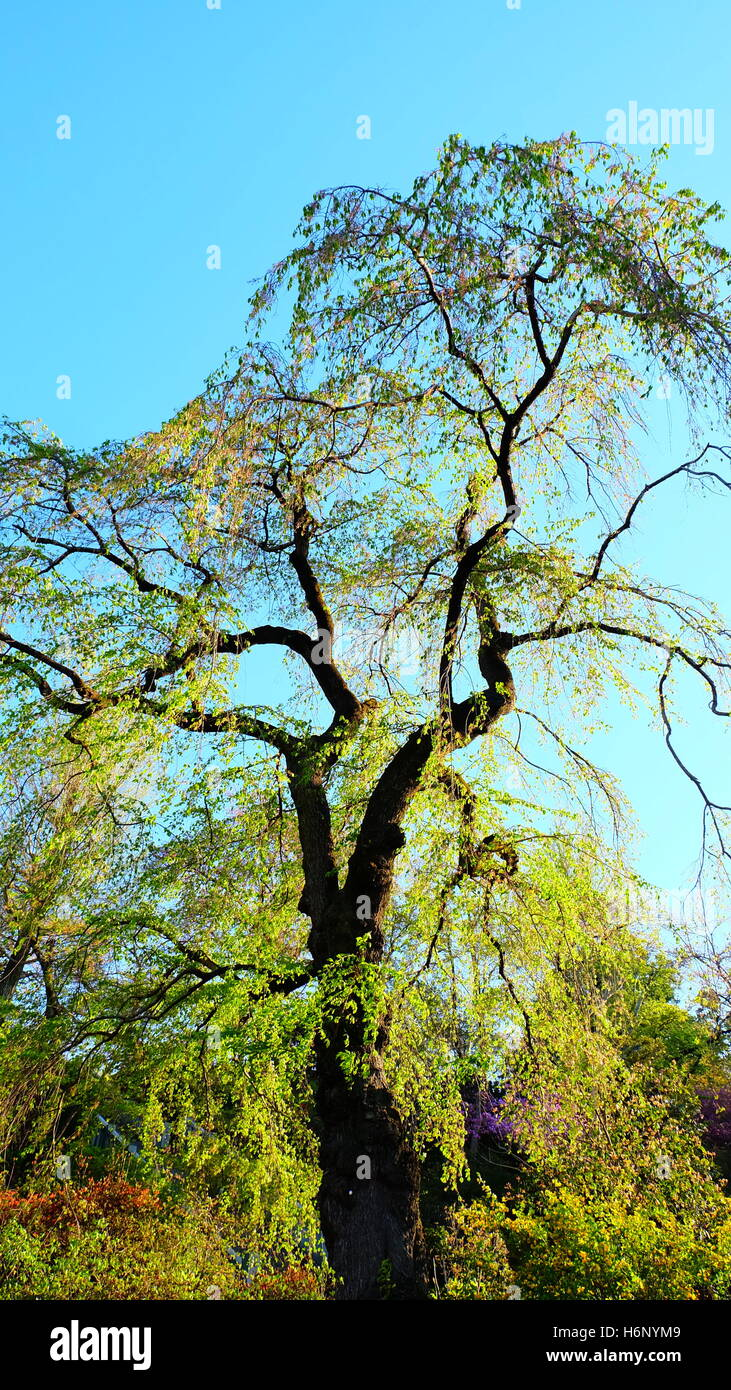 Tall tree in early spring with bright green young leaves Stock Photo