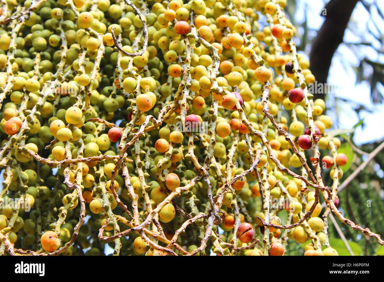 Palm Tree Fruit - Stock Image