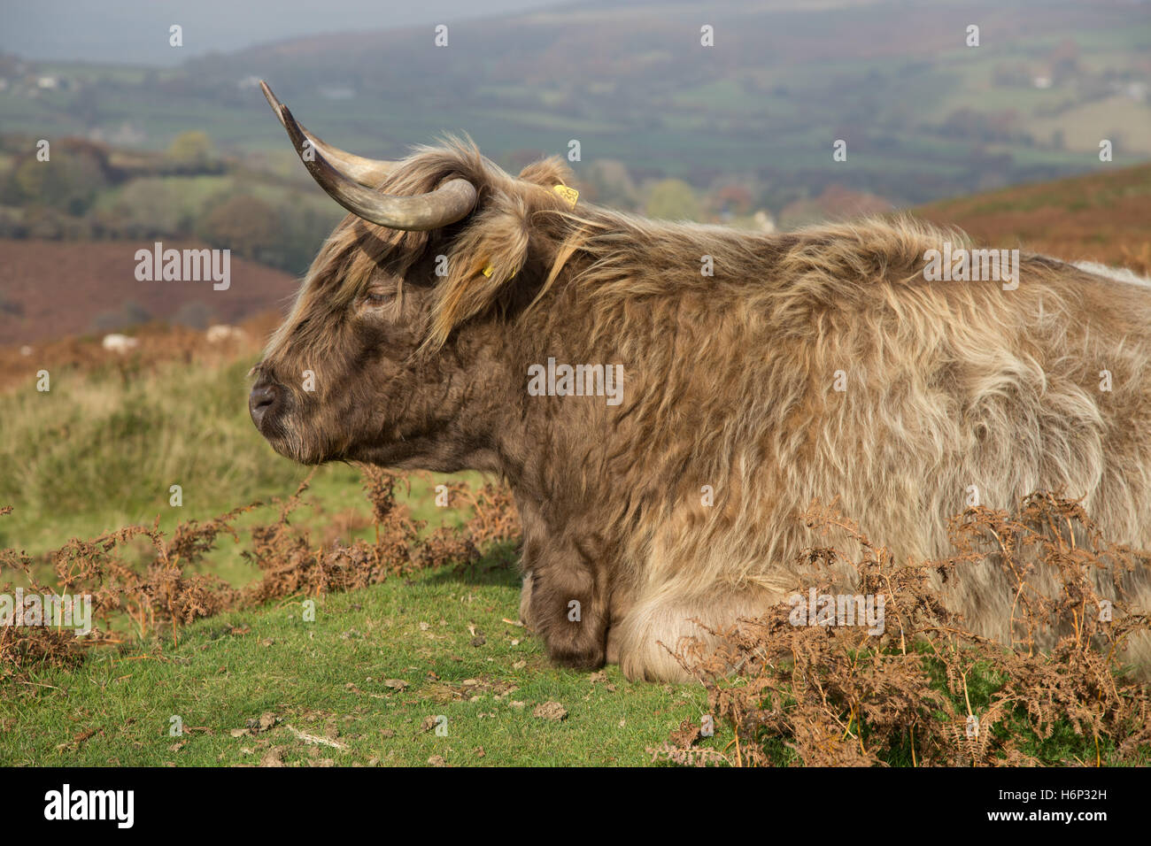 Highland longhorn cattle on Dartmoor, Devon, UK. - Stock Image
