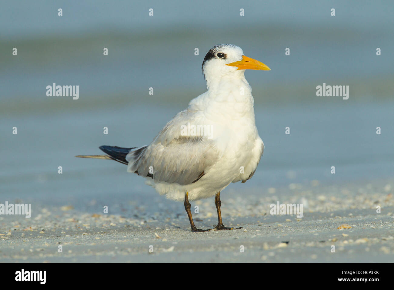 royal tern (Thalasseus maximus) adult resting on beach, Florida, USA - Stock Image