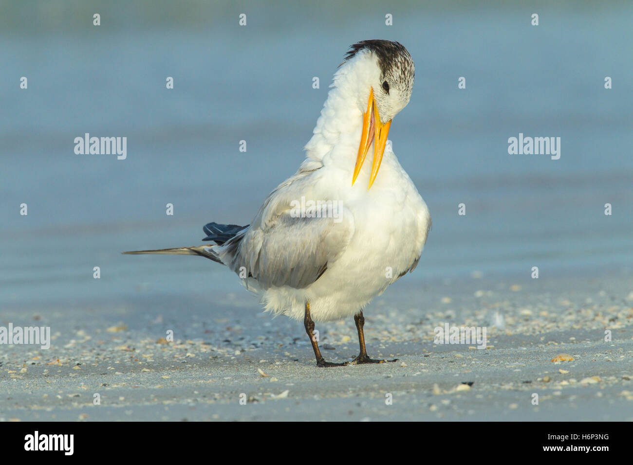 royal tern (Thalasseus maximus) adult preening its feathers on a beach in Florida, USA - Stock Image