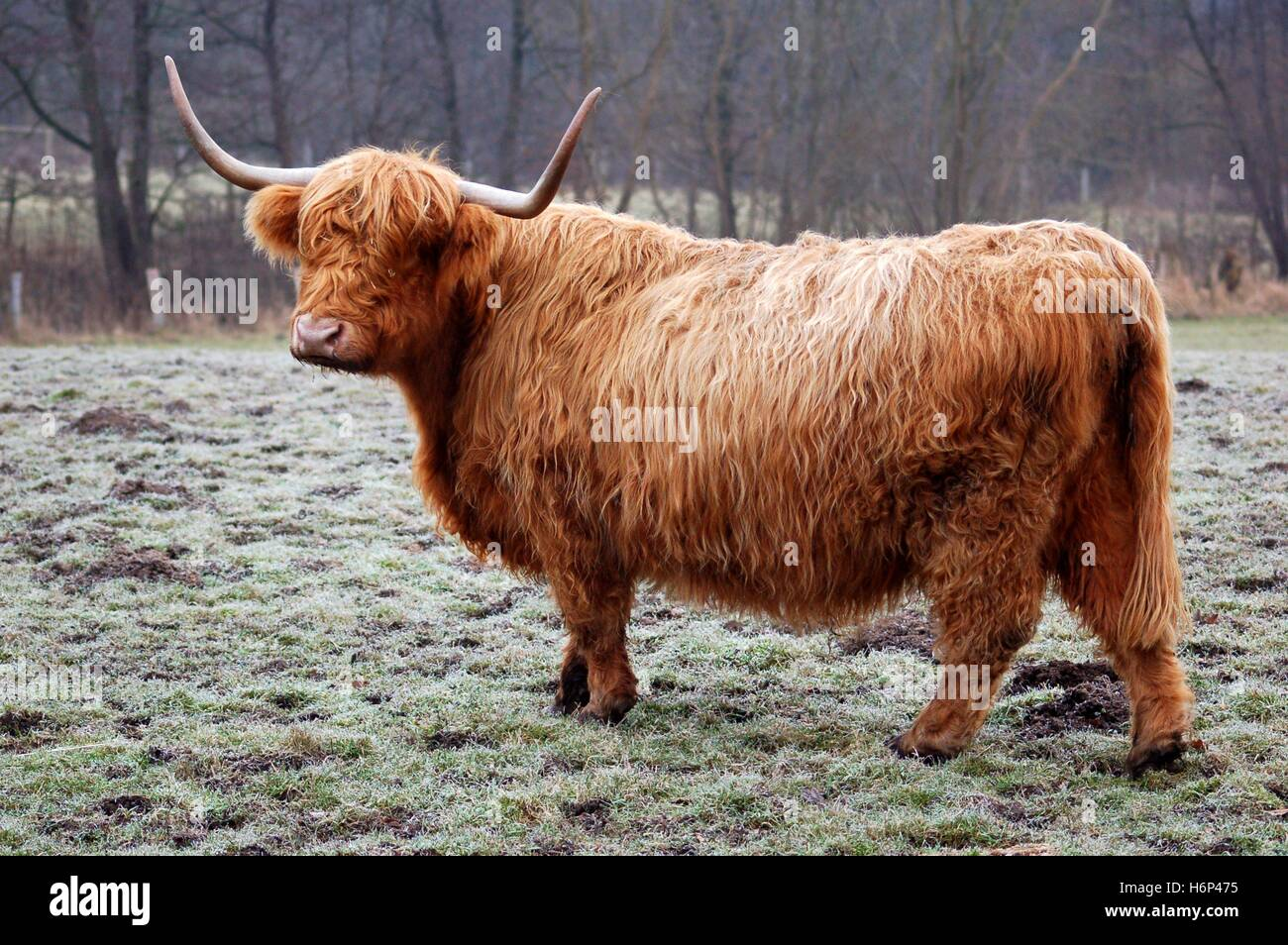 highland cattle - Stock Image