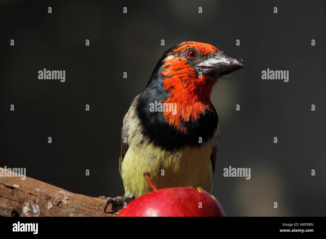 Black-Collared Barbet eating a red apple isolated against an out of focus background image in landscape format with - Stock Image