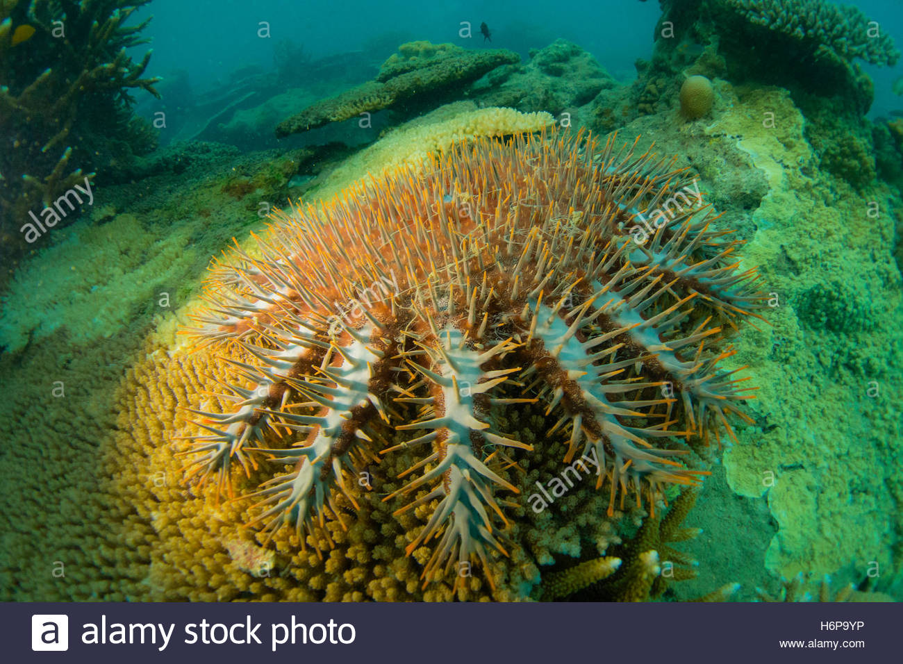 Underwater view of a crown-of-thorns starfish on a tropical reef. - Stock Image