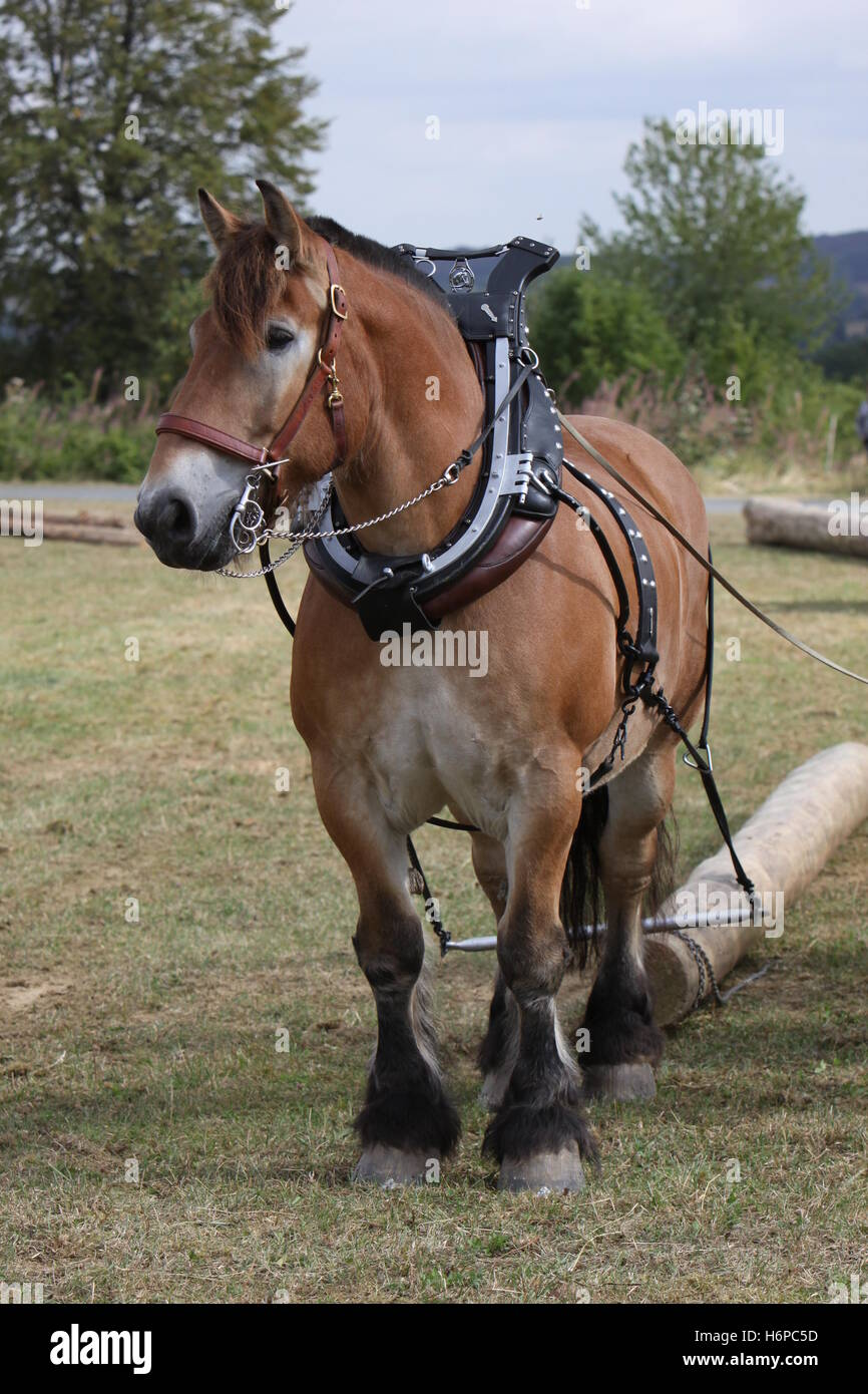 horse horses cold blooded animal rein horse animal brown brownish brunette strong trunk agriculture farming horses - Stock Image