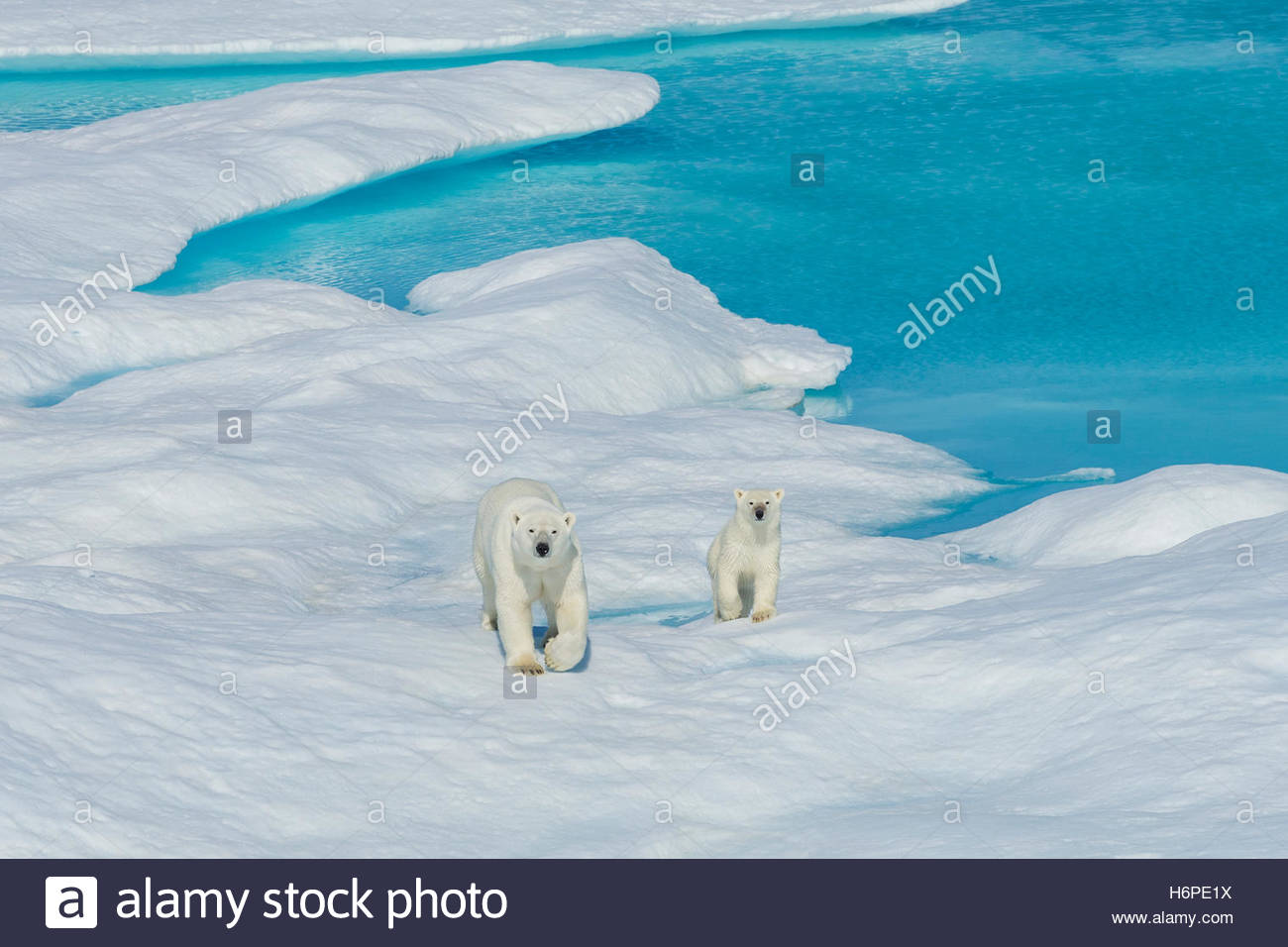 A polar bear (Ursus maritimus) and its cub wander the ice floes in the Canadian Arctic. - Stock Image