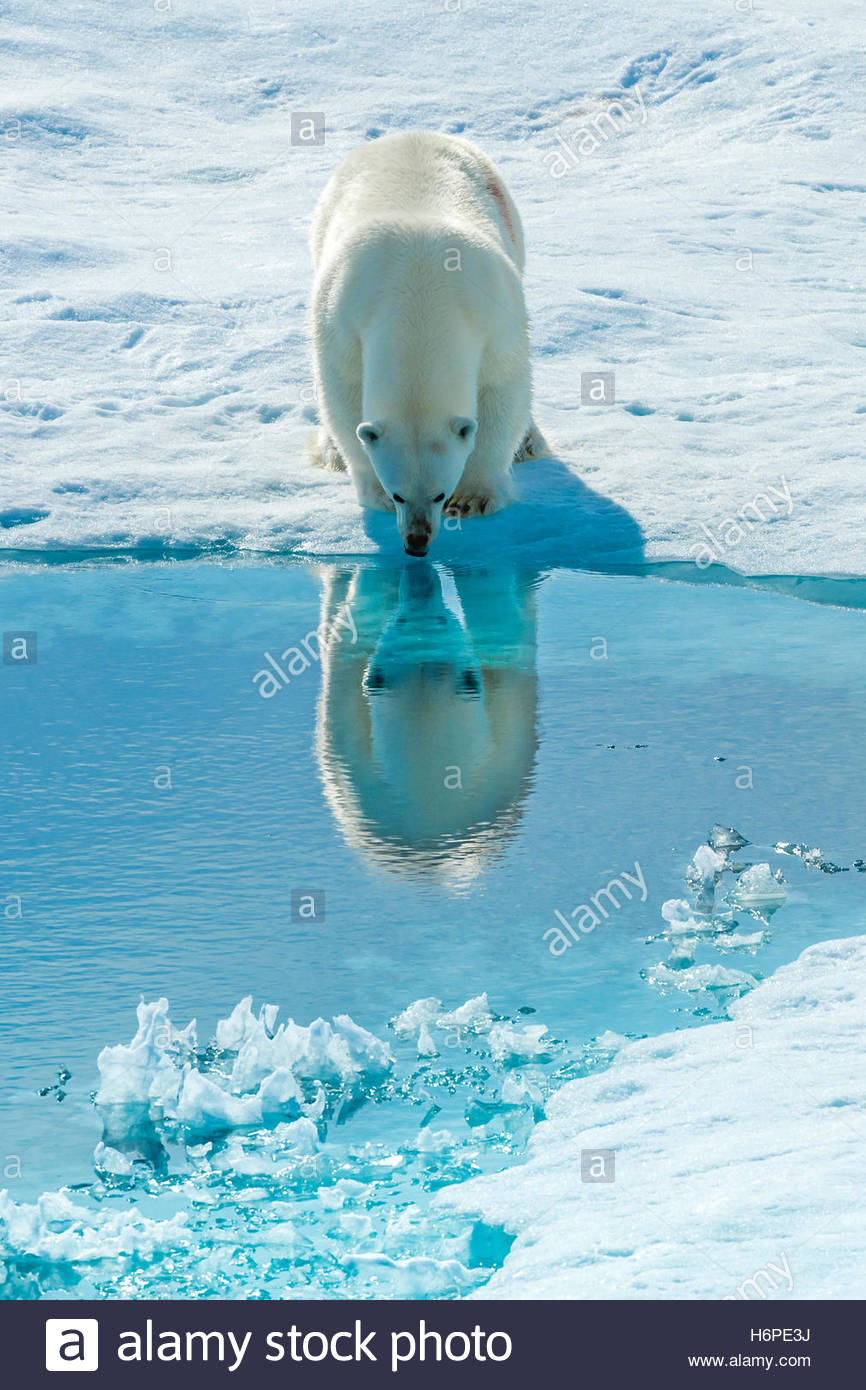 A polar bear (Ursus maritimus) stops to look at its reflection in sea water. - Stock Image
