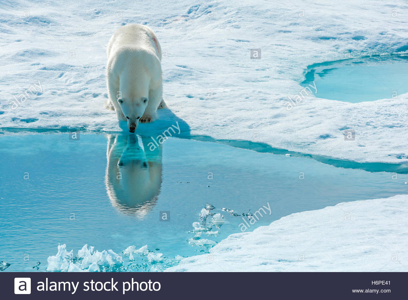 A polar bear (Ursus maritimus) stops to look at its reflection in the arctic sea water. - Stock Image
