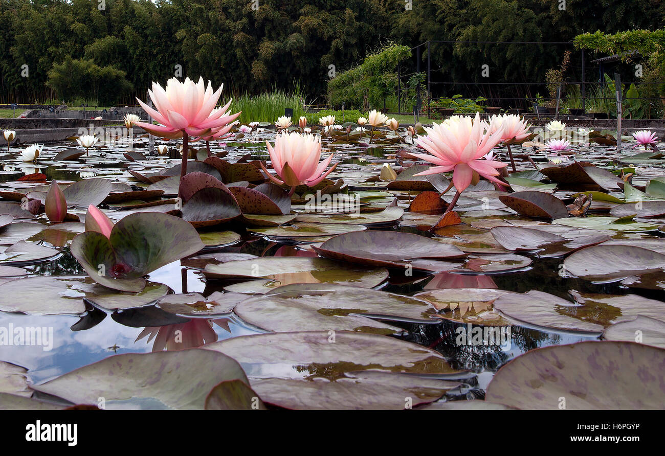 From the French National Water Lily Collection (rhizomatous aquatic herbs) at Latour-Marliac, associated with Impressionist - Stock Image