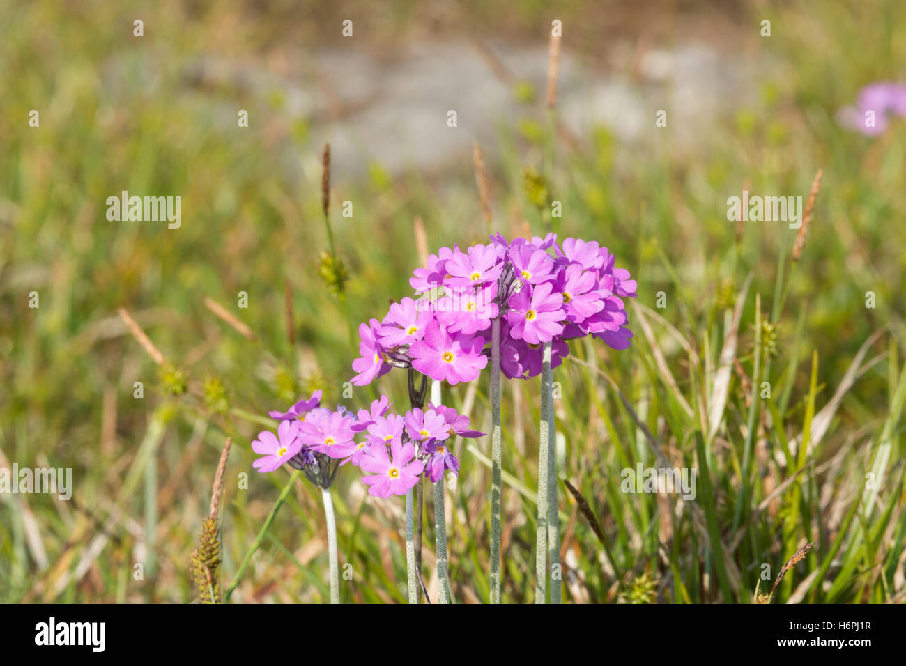 Birds Eye Primrose - primula farinosa Stock Photo