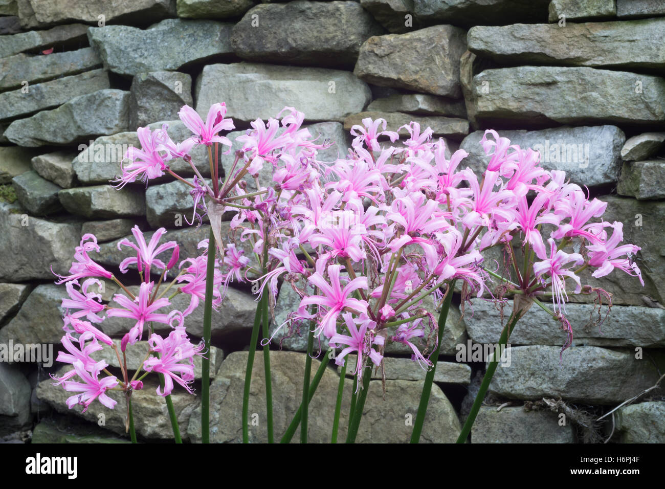 Nerine bowdenii against a drystone wall - Stock Image
