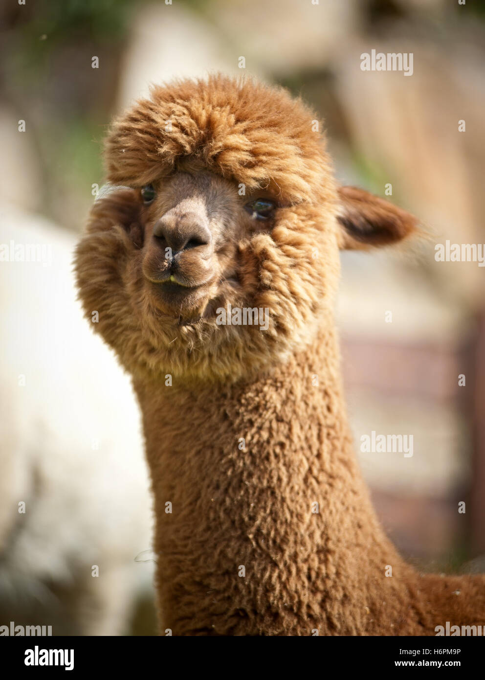 close single brown brownish brunette one alpaca fluffy head detail spare time free time leisure leisure time colour - Stock Image