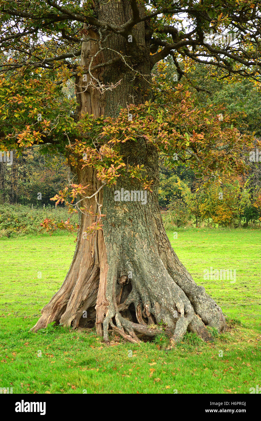 Knarled roots of an old English Oak tree, Filham Park, near Ivybridge, The South Hams of Devon, England - Stock Image
