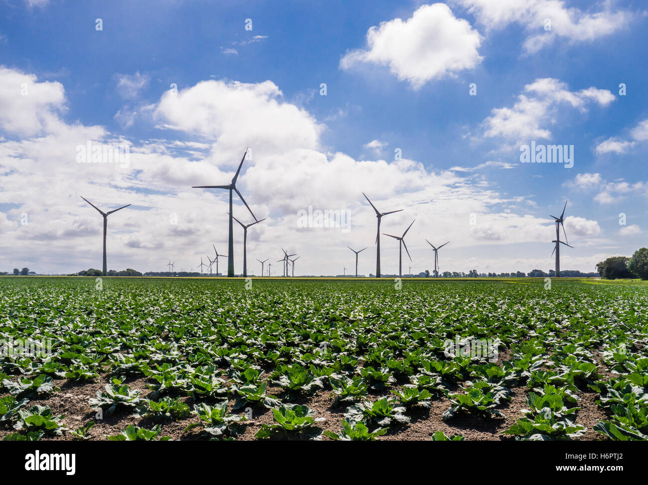 Germany, Schleswig-Holstein, the flat landscape of Dithmarschen with wind turbines and cabbages - Stock Image