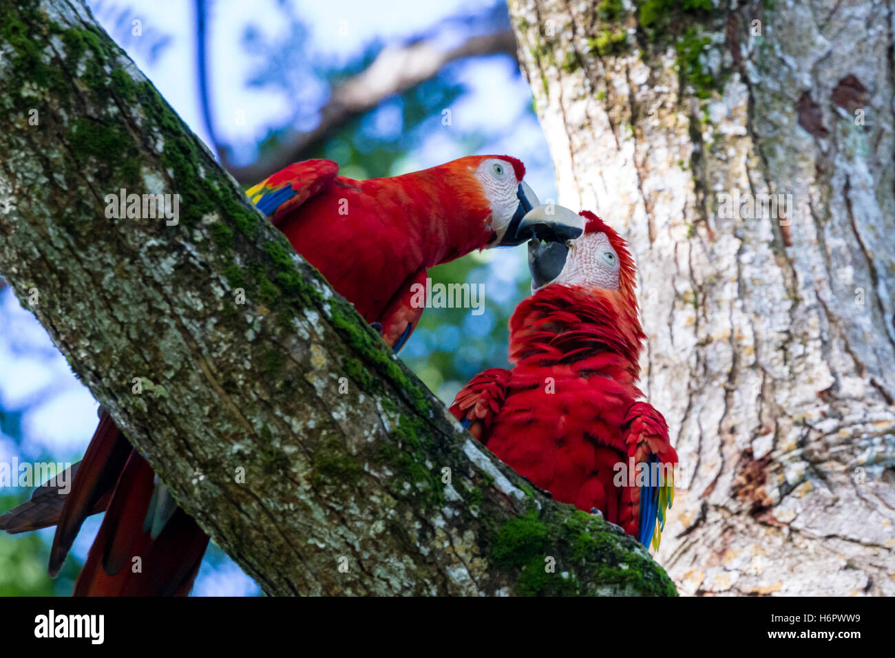 314eee425330 loving pair of scarlet macaws kissing underneath a tree Stock Photo ...