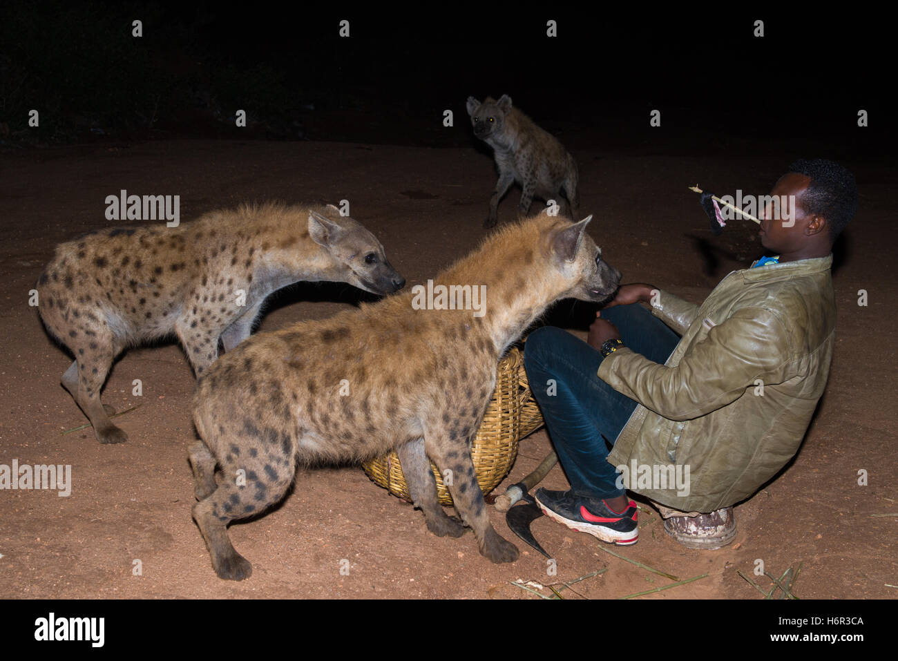 Son of Hyena Man feeding wild Spotted Hyenas (Crocuta crocuta) with his teeth, outside of the walled city of Harar, - Stock Image