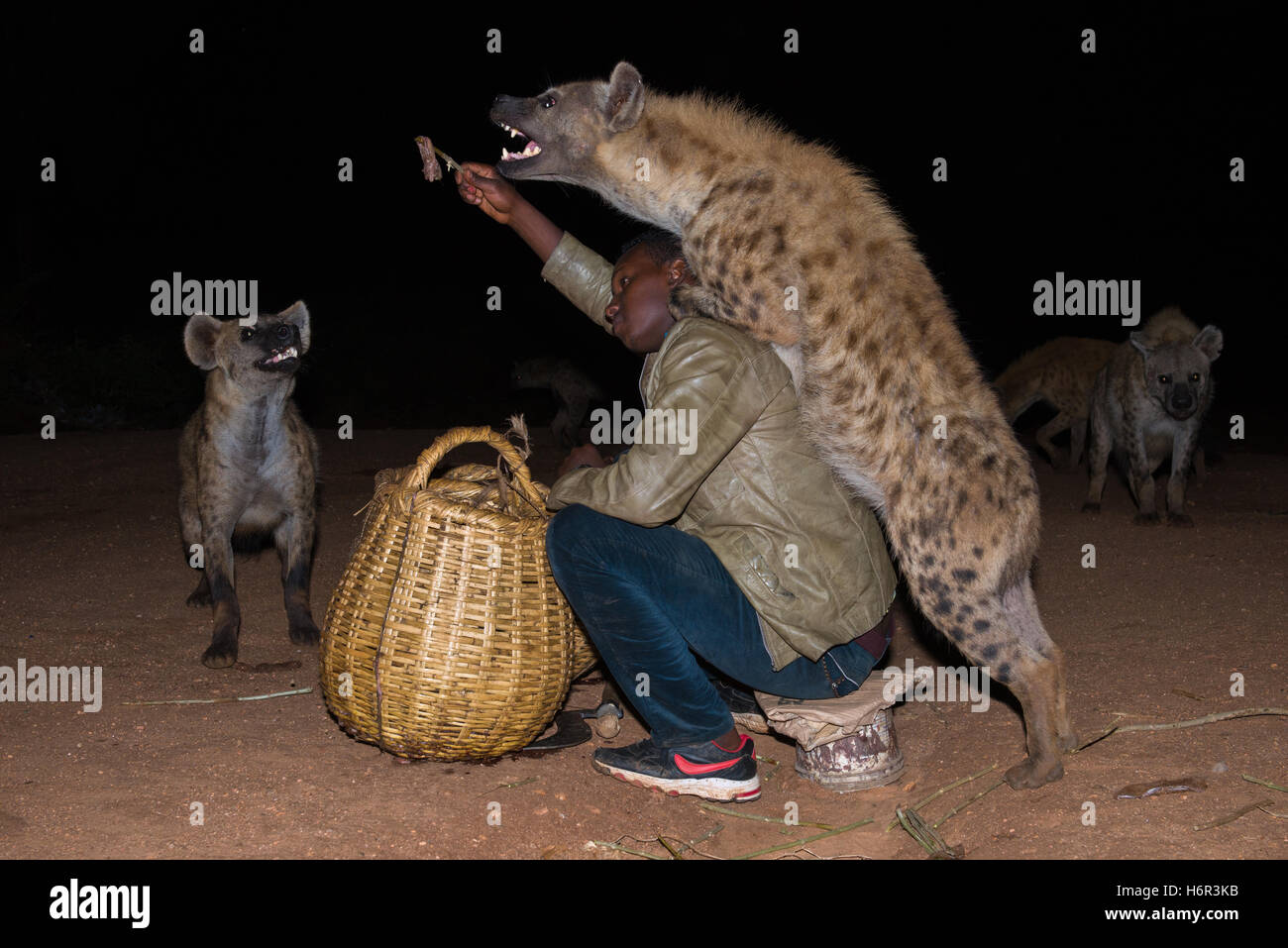 Son of Hyena Man feeding wild Spotted Hyenas (Crocuta crocuta) by hand, outside of the walled city of Harar, Ethiopia - Stock Image