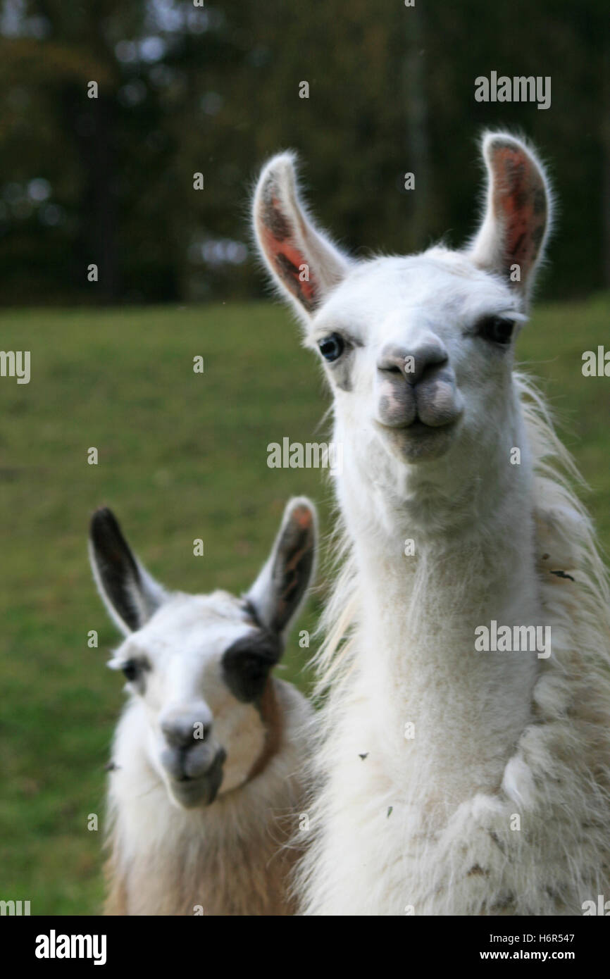 lamas - Stock Image