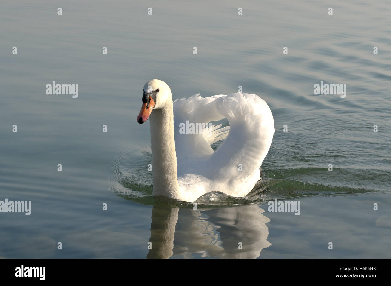 swan lake constance beak fresh water lake inland water water beaks swimming swiming swim swims to do the crawl herzig Stock Photo
