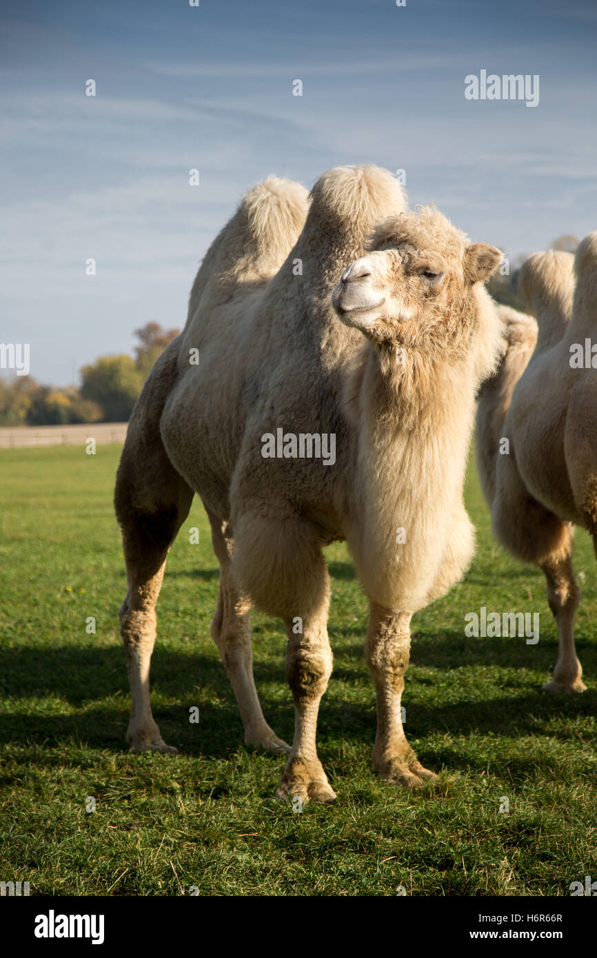 Camel in a field on a farm in the UK - Stock Image
