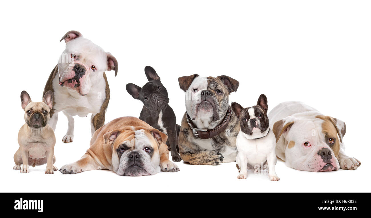 animal pet mammal lie lying lies dog studio front view highkey breed bulldog wrinkled homey domestic put sitting - Stock Image