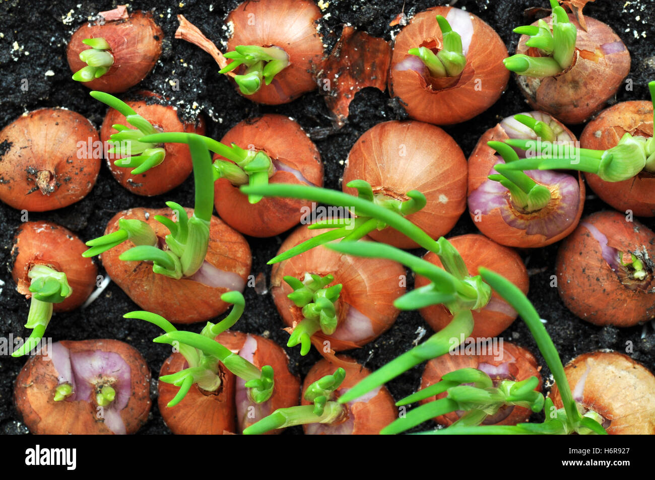 onions with chives - Stock Image