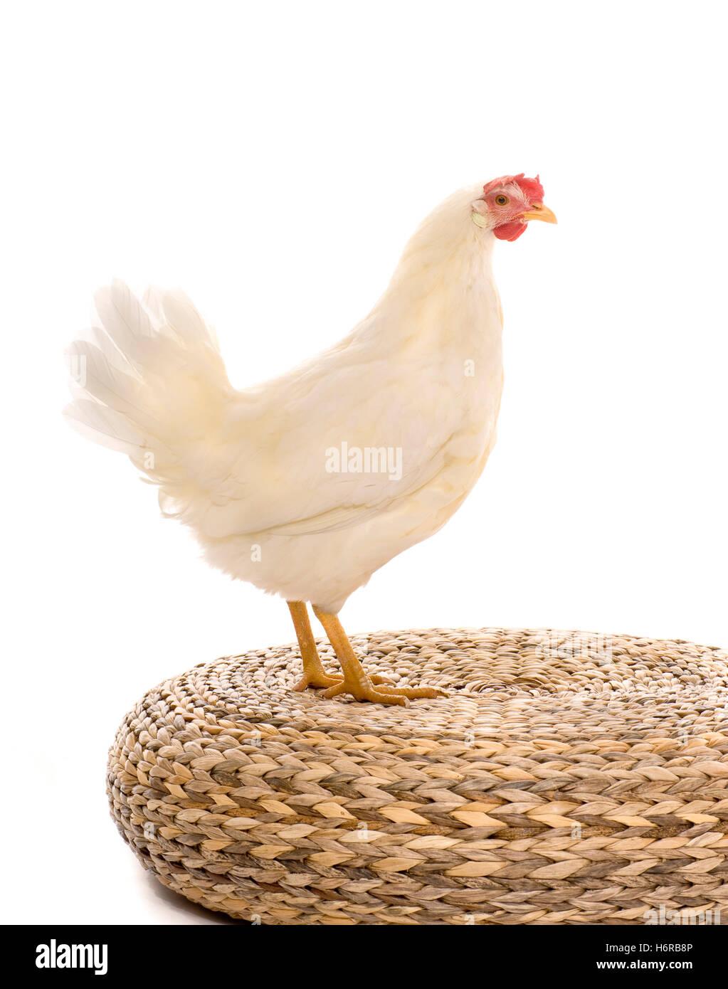 bird agriculture farming livestock farm poultry chicken animal bird agriculture farming wing livestock farm poultry - Stock Image