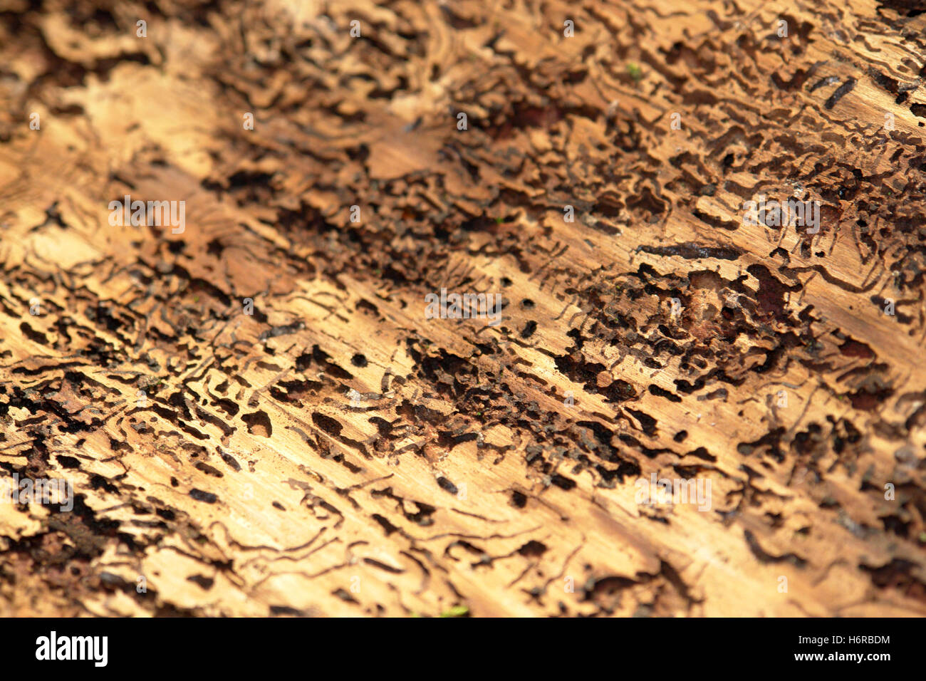 bark holey bark beetle format-filling perforated animal insect wood beetle bark plague monitoring holey hole abstract - Stock Image