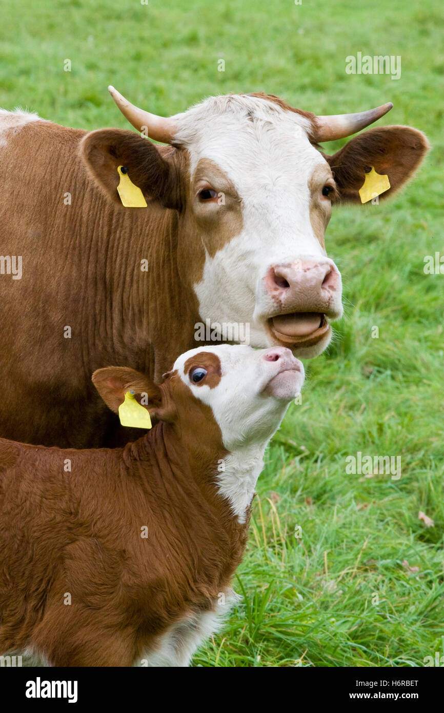 cow motherly love calf animal animals breeding cow bovine smooch cows waist belt motherly love farm animal calf - Stock Image