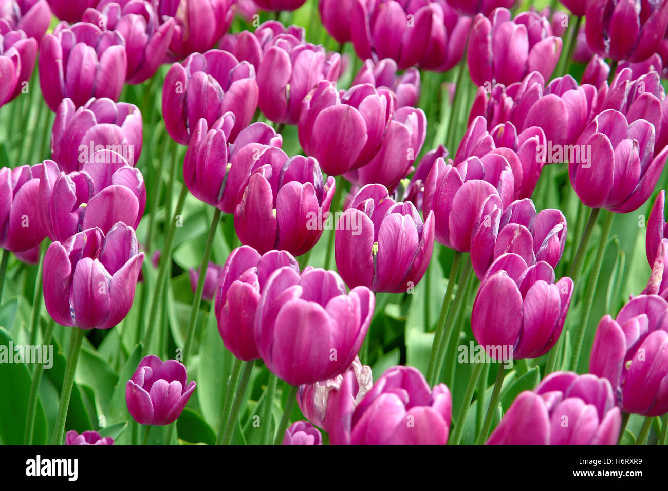 tulips plant bloom blossom flourish flourishing flower flowers summer summerly blossoms tulips bleed field of flowers - Stock Image