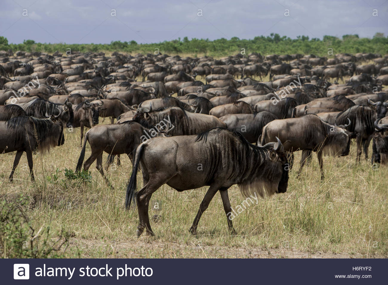 Herd of Wildebeests in Masai Mara National Reserve. Stock Photo
