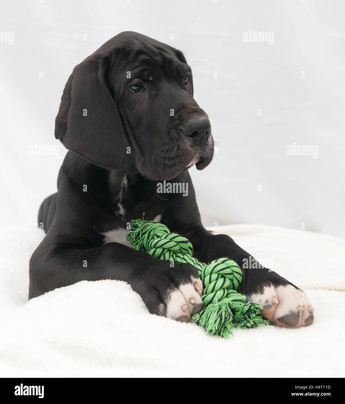 small tiny little short dog puppy breed breeder cute black swarthy jetblack deep black blank european caucasian - Stock Image