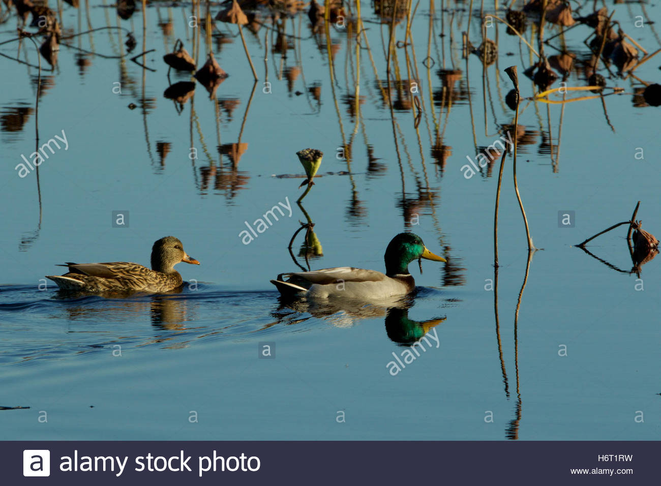 Mallard ducks, a male and female pair, swim on the water. - Stock Image