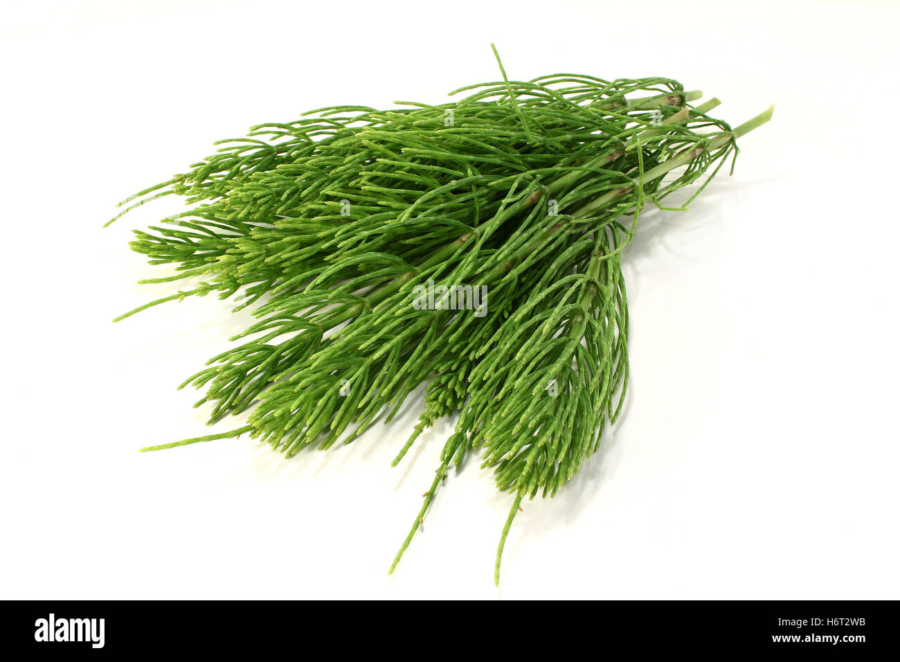 homeopathy horse tail medicinal plant naturopathy homeopathic green agriculture farming material drug anaesthetic - Stock Image